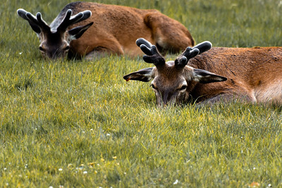 Wollaton hall deer heads in the grass