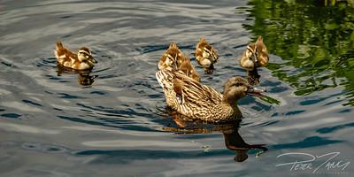 Family of Ducks