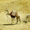 a Camel & a Donkey