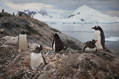 Antarctica: On a hill overlooking the icy but calm Paradise Bay, a Gentoo penguin mother tends her twin babies.