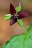 Purple Trillium
