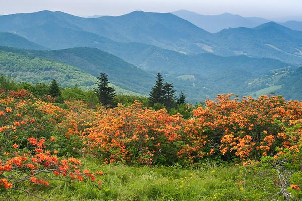 Flame Azalea in the Blue Ridge