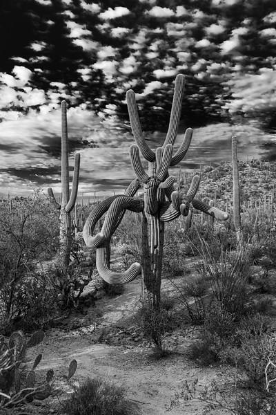 Crazy arms, Saguaro Cactus