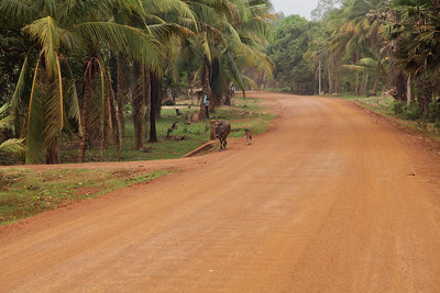 Kampong Thom Province, Cambodia The red dirt road through the small village where we stayed in  Kampong Thom Province.