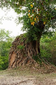 Kampong Thom Province, Cambodia A Strangler Fig Tree enveloping a temple structure at the pre-Angkorian ruins at Sambor Prei Kuk in Kampong Thom Province.