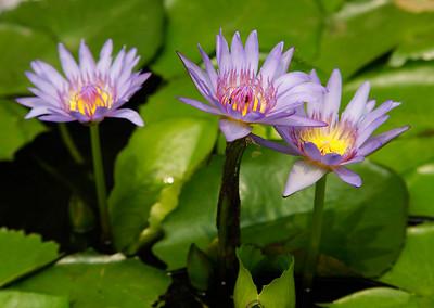 Bangkok, Thailand Lotus flower at the Grand Palace in Bangkok.