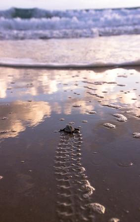 Baby Turtle at Sunrise