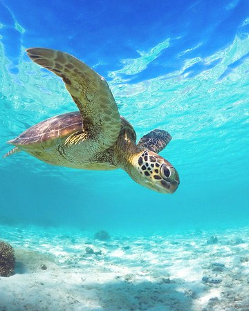 Swimming with the turtles at Lady Elliot Island