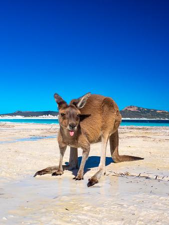 Kangaroos on the beach wa