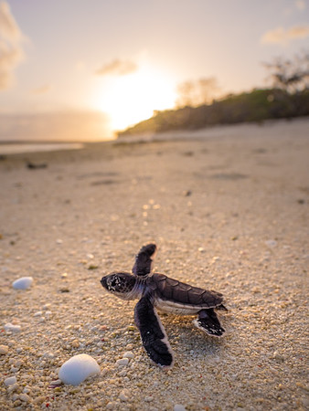 Baby turtle scurrying down the beach on Heron Island