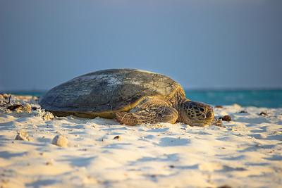 Turtle nesting on Heron Island