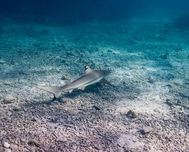 Black tip reef shark on Heron Island