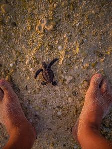 Baby turtle on Heron Island