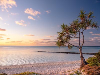 Pandanus tree on Heron Island