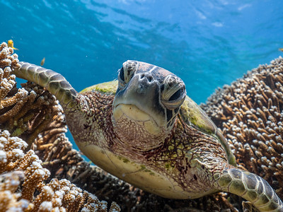 Green Sea Turtle resting on coral at Heron Island