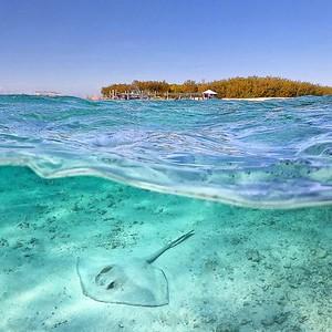 Heron Island stingray