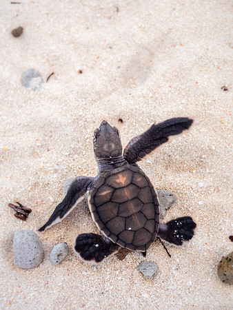 Baby turtle on Heron Island