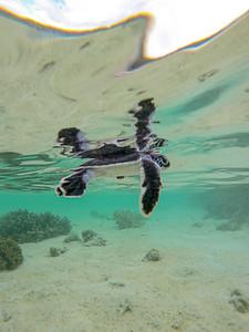Baby turtle swimming on Heron Island
