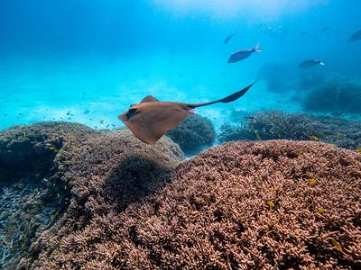 Snorkelling with rays around Heron Island