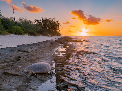 Turtle nesting at Heron Island
