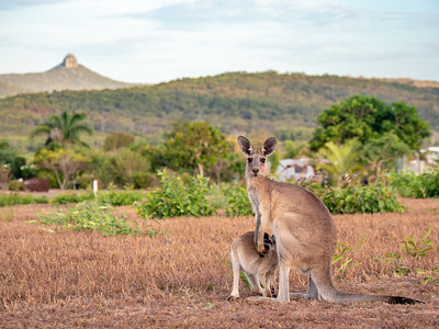 Kangaroos with Mt Funnel in the distance