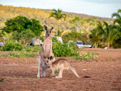 Kangaroos at Cape Palmerston Holiday Park