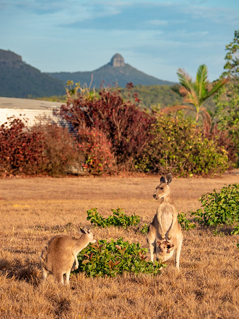 Kangaroos with Mt Funnel in the background