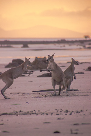 Sunrise with the wallabies at Cape Hillsborough