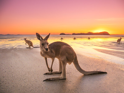 Sunrise with the kangaroos at Cape Hillsborough, Mackay