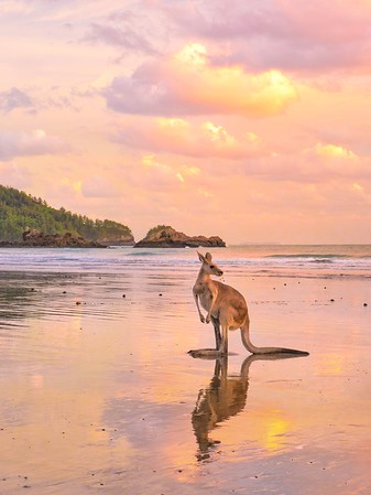 Sunrise with the kangaroos at Cape Hillsborough