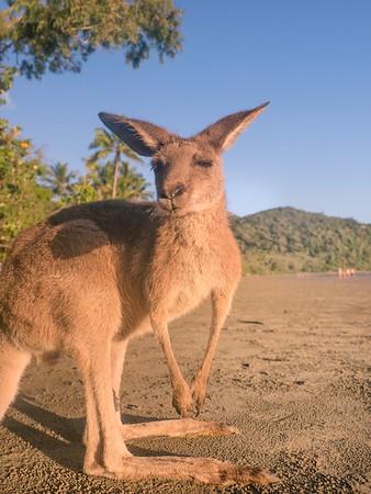 Kangaroo beach Mackay
