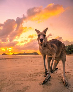 Sunrise with the kangaroos at Cape Hillsborough in Mackay