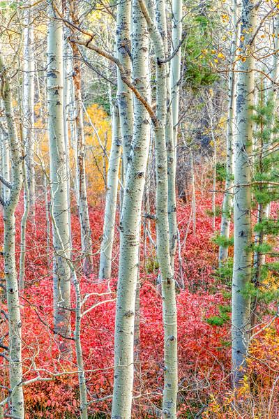 Autumn Kaleidoscope and Aspens, Lee Vining