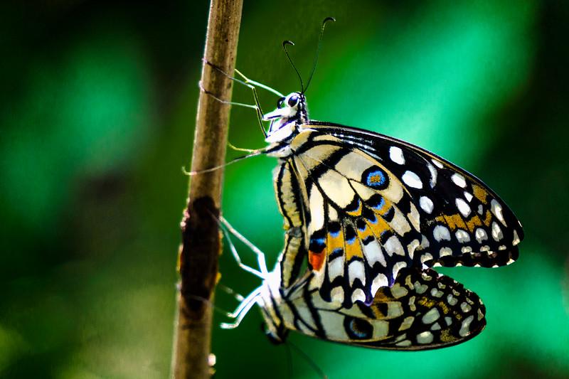 Mating Butterflies, Luang Prabang