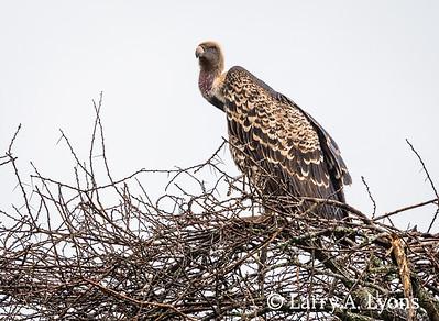 Ruppel's Griffon Vulture