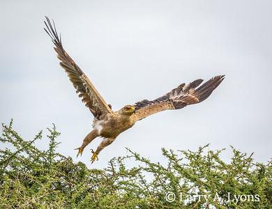 Tawny Eagle, Mature
