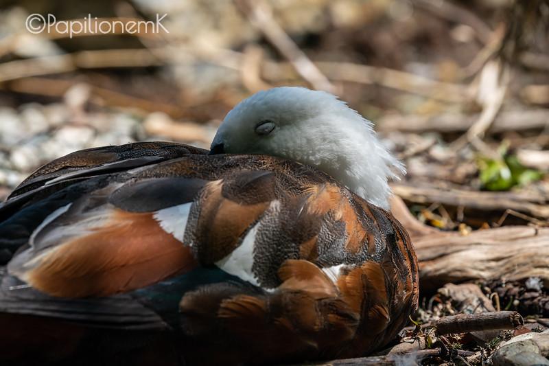 새, 감은 눈, paradise shelduck, closed eyes, lower eyelid, 하안검, 아랫 눈꺼풀