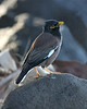 Common Myna. Abundant on all main islands.  This picture taken on Maui.
