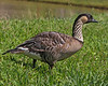 Nene.  The state bird of Hawaii.  Found mostly on the islands of Hawaii, Maui and Kauai.  Photo taken in Kauai.