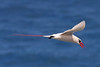Red-tailed Tropicbird.  Photo was taken at Kilauea Point NWR in Kauai.