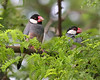 Java Sparrow. Found mostly on the islands of Hawaii, Kauai, and Maui.  Photo taken in Kauai.