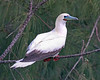 Red-footed Booby.  Photo was taken at Kilauea Point NWR in Kauai.