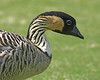 Nene.  The state bird of Hawaii.  Photo taken in Kauai.