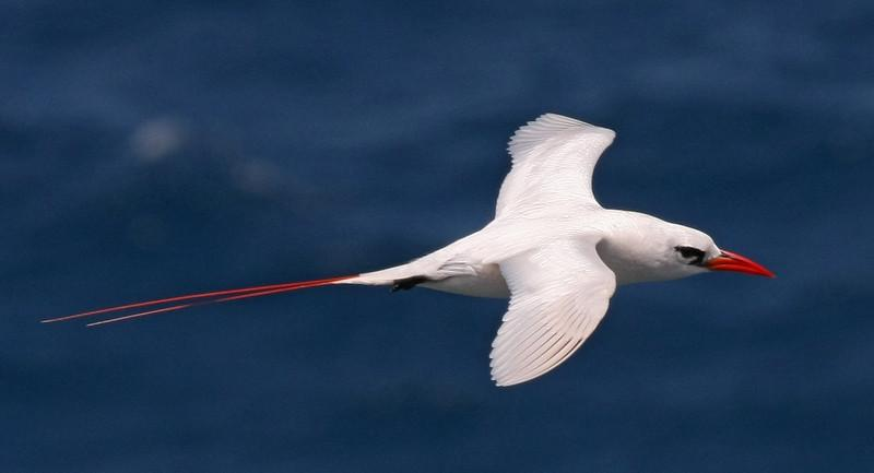 Red-tailed Tropicbird.  Photo was taken at Kilauea Point NWR in Kauai.