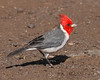 Red-crested Cardinal.  A common bird in most islands of Hawaii.  Taken in Kauai.
