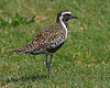 Pacific Golden-plover.  A bird that is very abundant during the winter months on most islands of Hawaii .  Photo taken in Kauai.