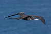 Great Frigatebird.  Photo was taken at Kilauea Point NWR in Kauai.