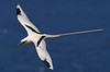 White-tailed Tropicbird.  Photo was taken at Kilauea Point NWR in Kauai.
