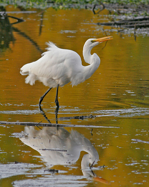 Great Egret taken at Ridgefield NWR, WA