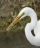 Great Egret: Ridgefield NWR (4-12-15)